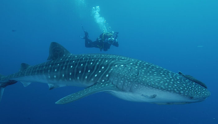Honeymoon - Whale Shark Diving